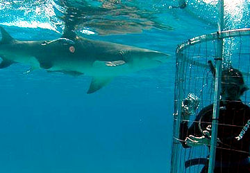 Shark Diving Adventures in California, Bahamas, Isla Guadalupe and South Africa. Great white sharks, tiger sharks, lemon sharks and more, viewed from our shark cage or topside.
