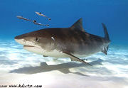 Shark Diving Adventures in California, Bahamas, Isla Guadalupe & South Africa