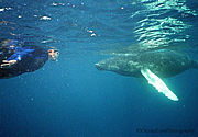 Swim with the Humpback Whales of Silver Bank, Dominican Republic