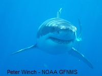 Shark Photo by Peter Winch NOAA Greater Farallones National Marine Sanctuary