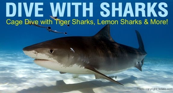 Dive with Sharks in the Bahamas - cage diving with Tiger Shark, Lemon Sharks and more off Grand Bahamas Island