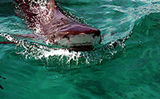 Tiger Shark Adventure in the Bahamas