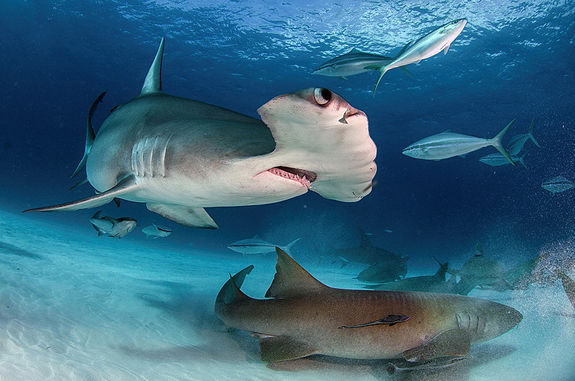 Dive with Great Hammerhead Sharks in the Bahamas off Bimini Island