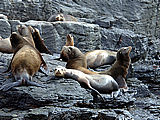 Group of Seals on Maintop