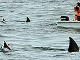 Great White Sharks in the Farrallons (Farallones)