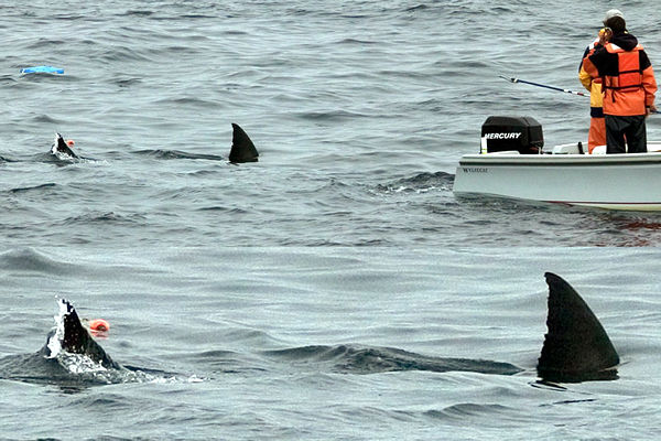 Great White Shark Tours Farallon Islands