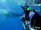 Shark diving crews make your dive safe for you and for the sharks