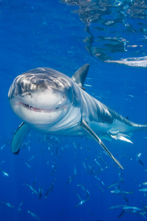 Shark Diving: Isla Guadalupe Mexico