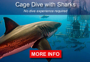 Cage dive with sharks. No dive experience required.